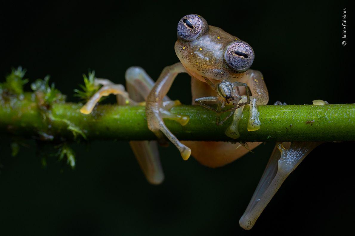 Uma rã Nymphargas balionotus petisca uma aranha no sopé dos Andes, no noroeste do Equador. Esta ...