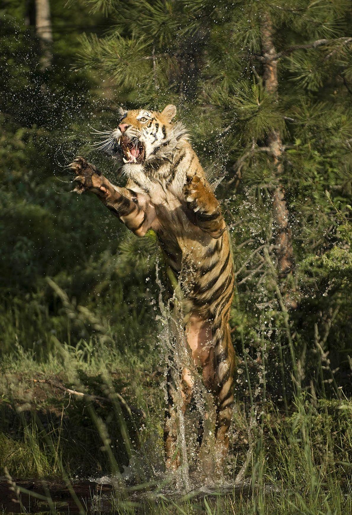 Um tigre da Sibéria salta sobre a água