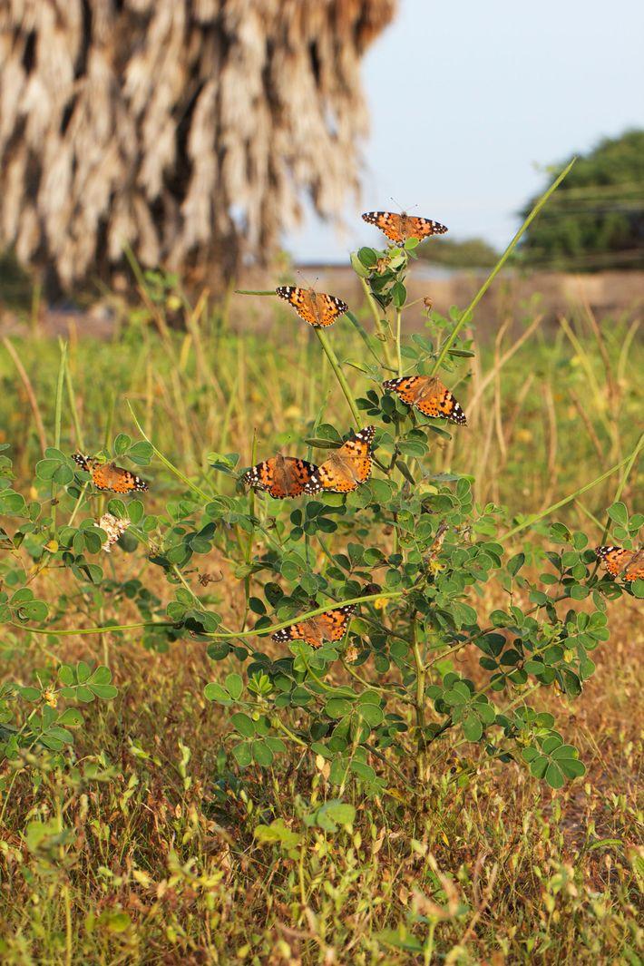 Conjunto de borboletas Bela-Dama