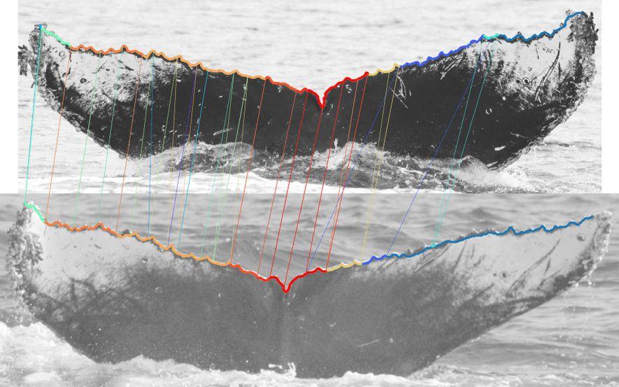O software Wildbook é capaz de identificar baleias através da análise de fotografias do lobo da ...
