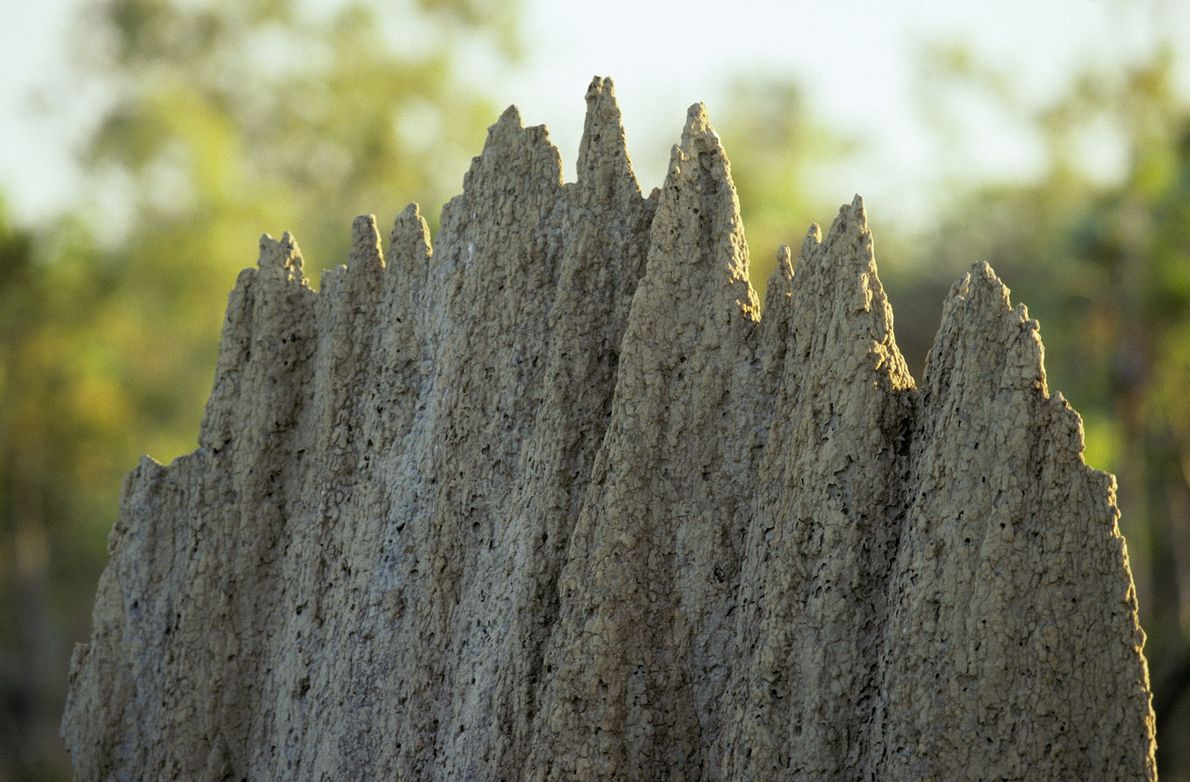 As térmitas constroem grandes montículos.