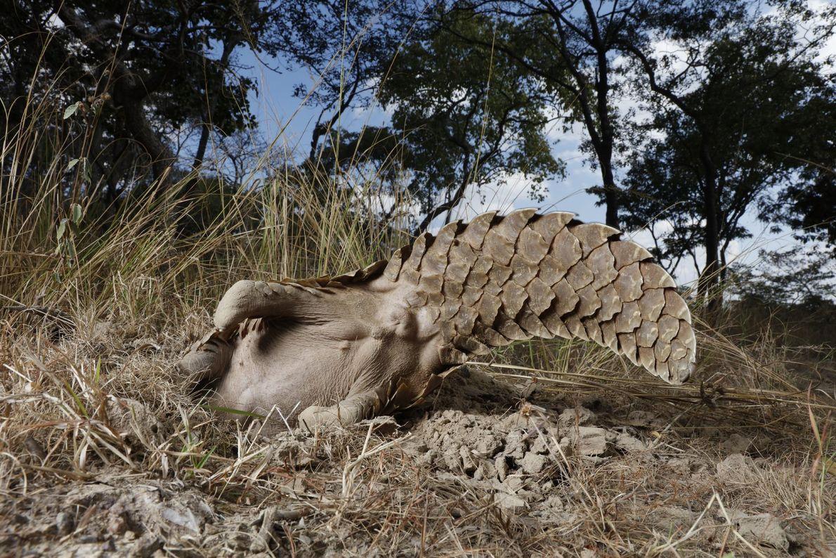 Um pangolim no centro da Fundação de Tikki Hywood