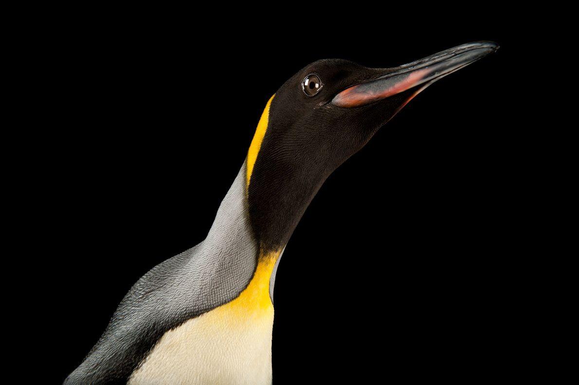 Pinguim-rei (Aptenodytes patagonicus)