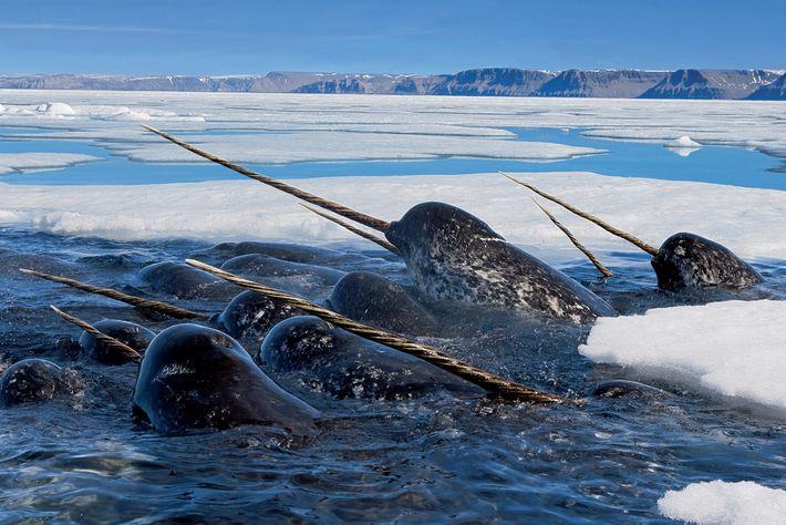 Narvais macho a comerem bacalhau no Estreito de Lancaster, no Canadá. Tal como os ursos-polares, estes ...