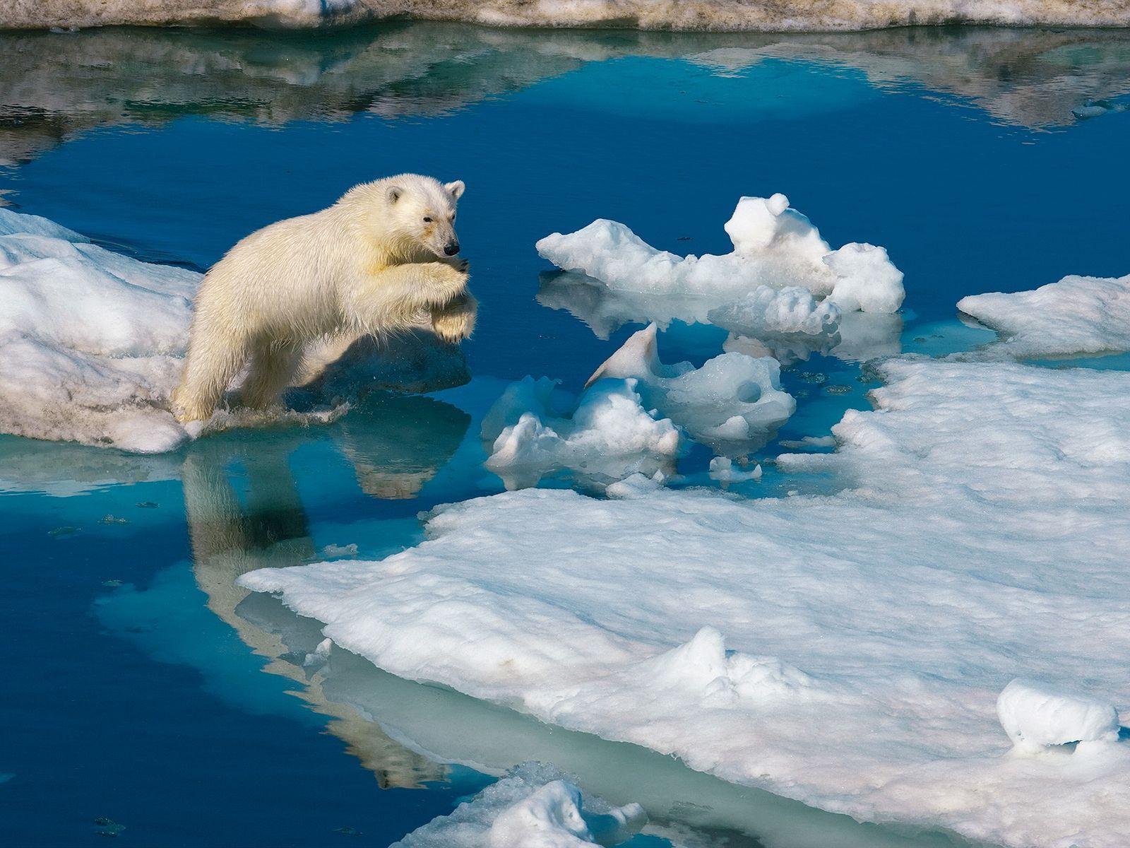 Um jovem macho urso-polar a saltar entre blocos de gelo, em Svalbard, na Noruega. As alterações ...