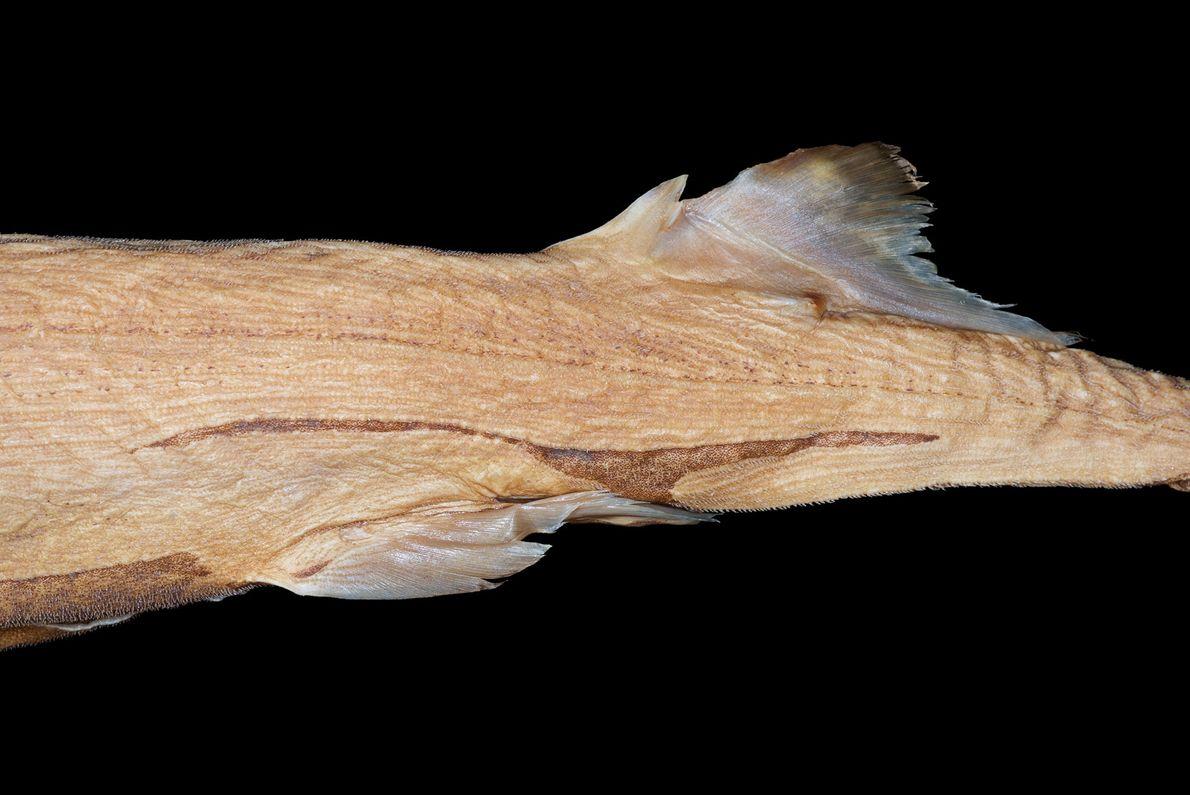 O Etmopterus lailae é bioluminescente, e os seus flancos, no fundo do abdómen, brilham no escuro