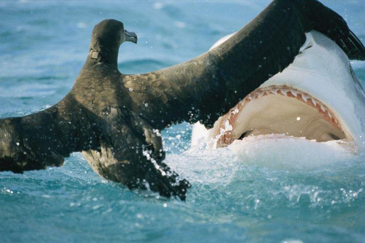 Um tubarão ameaça um jovem albatroz, no atol de French Frigate Shoals, no Havai.