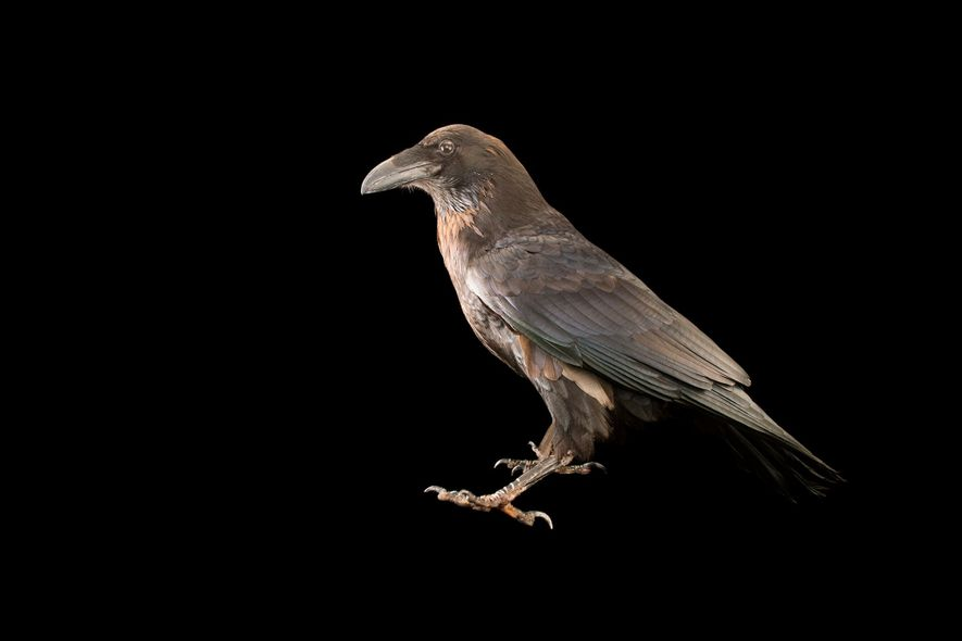 Um corvo comum, corvus corax principalis, fotografado no Jardim Zoológico de Los Angeles. Embora partilhem parecenças, ...