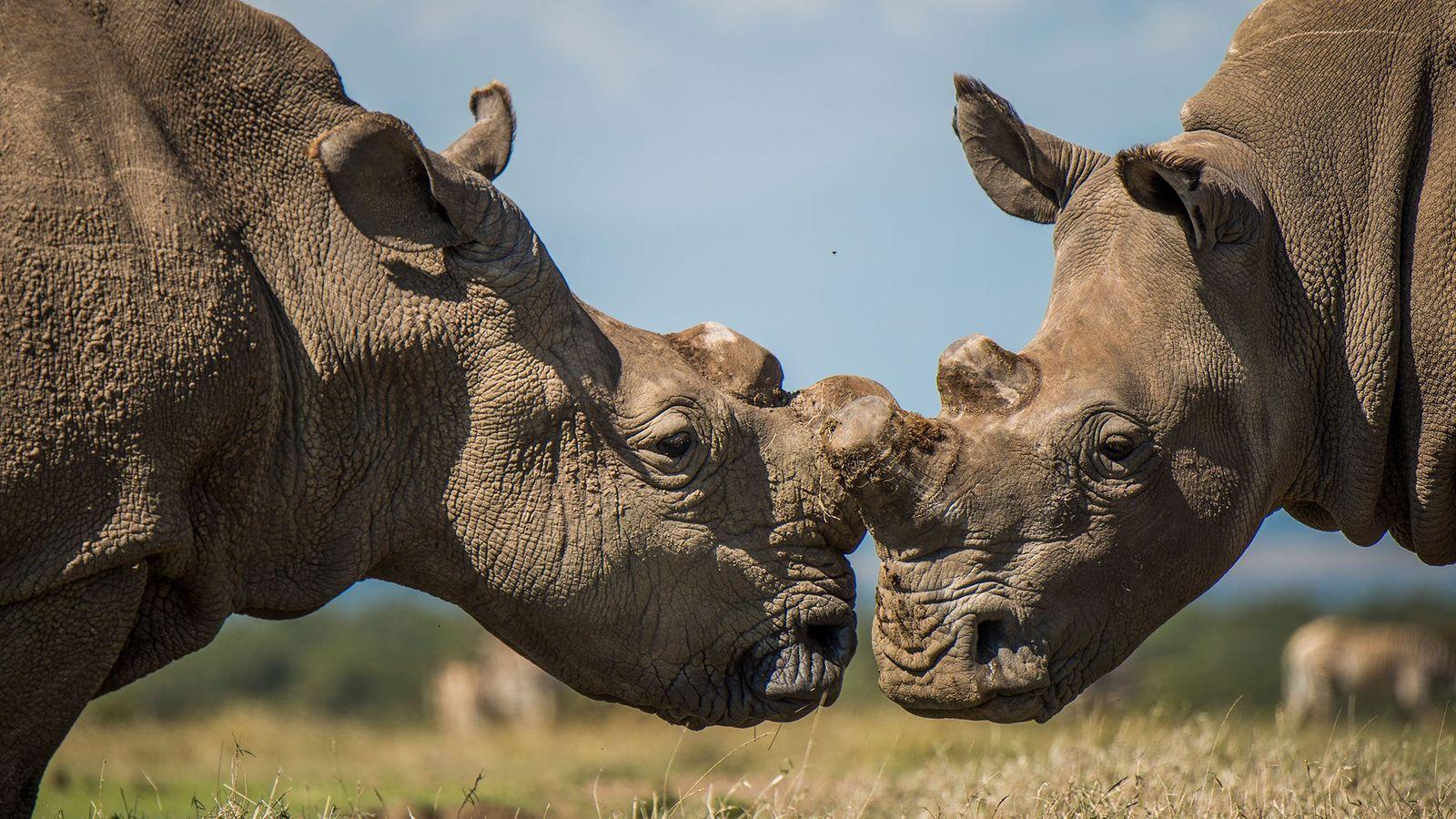 rinoceronte-branco-do-sul