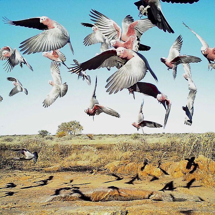 Galahs, uma espécie de cacatua, vasculham o Outback ressequido à procura de água, na Austrália Ocidental. ...