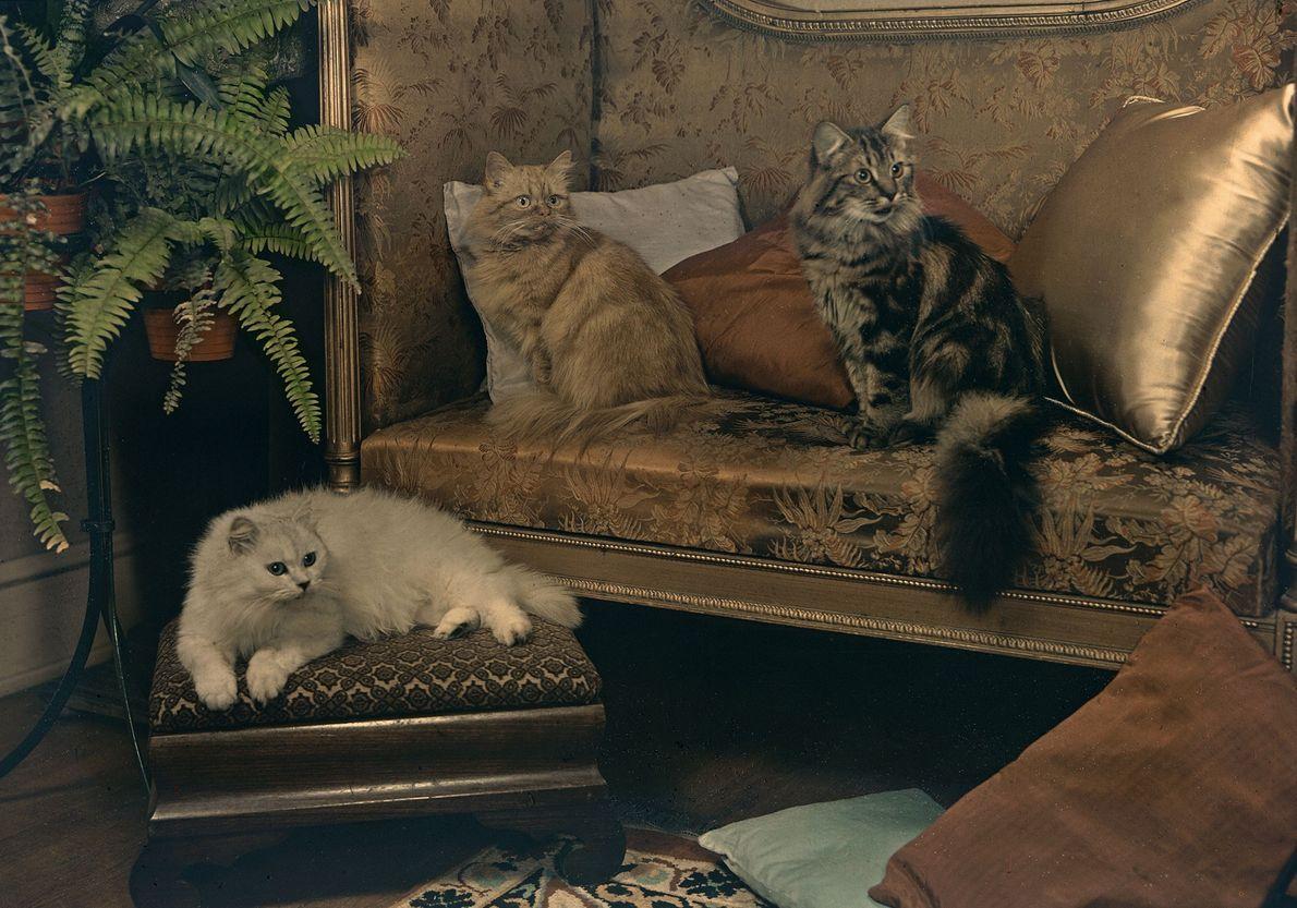 Um trio de gatos persas.