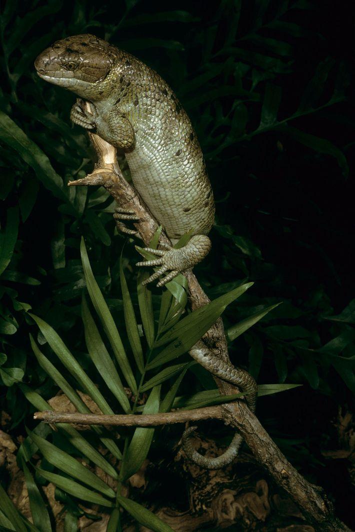 O lagarto-rabo-de-macaco