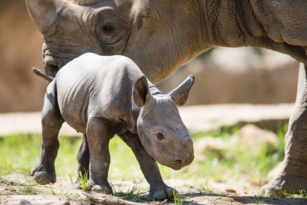Cria de rinoceronte-negro no Jardim Zoológico de Krefeld
