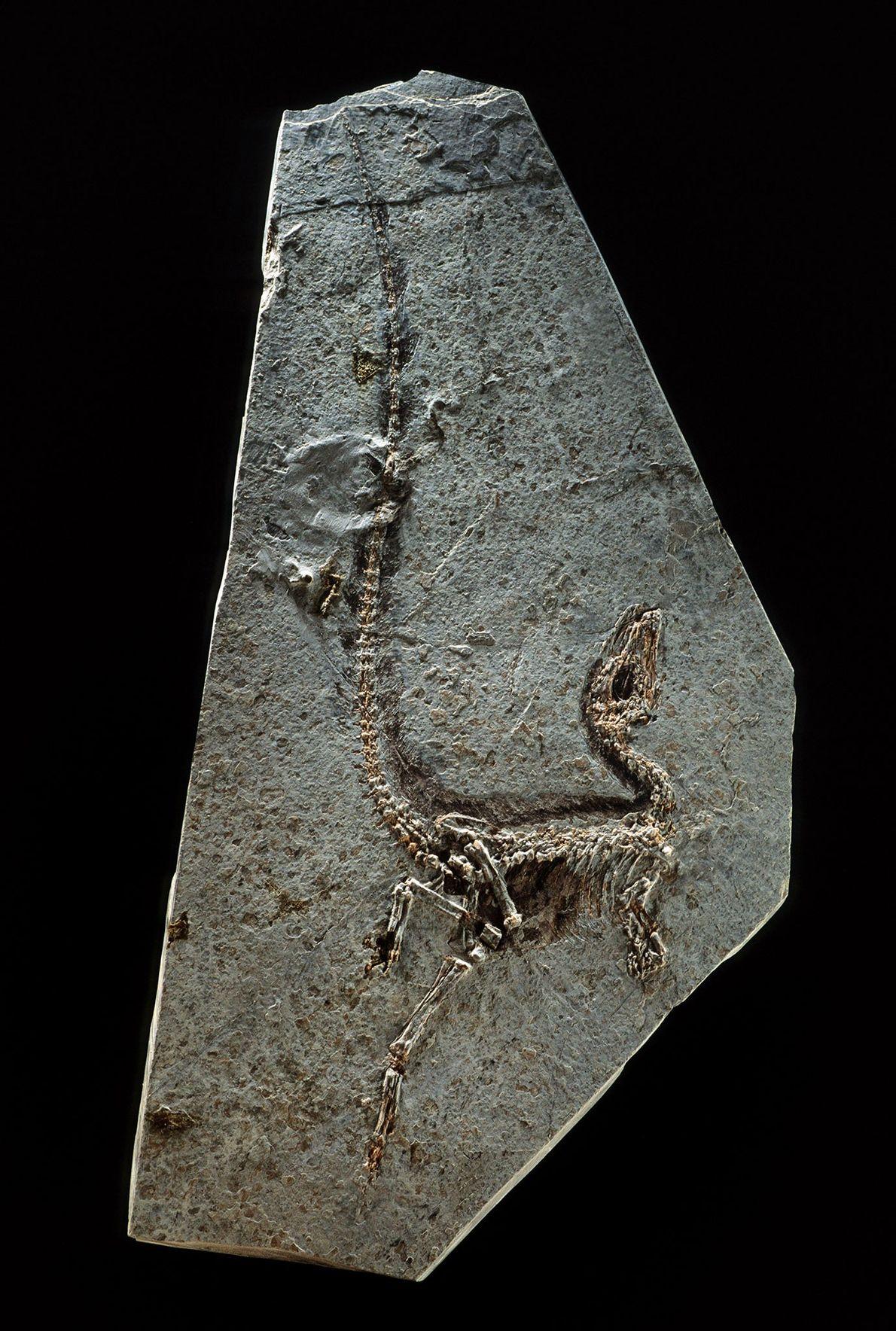 O Sinosauropteryx prima, da província nordeste chinesa de Liaoning, foi encontrado em 1996 e é reconhecido ...