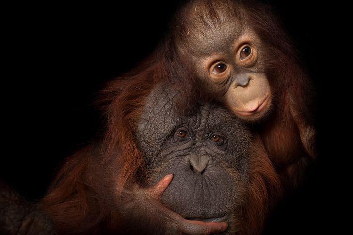 Uma cria de orangotango-de-Bornéu abraça a mãe adotiva, um orangotango-de-Sumatra