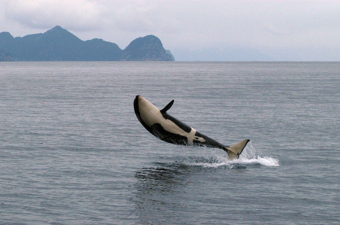 Uma orca salta e lança-se sobre a água, no Alasca.