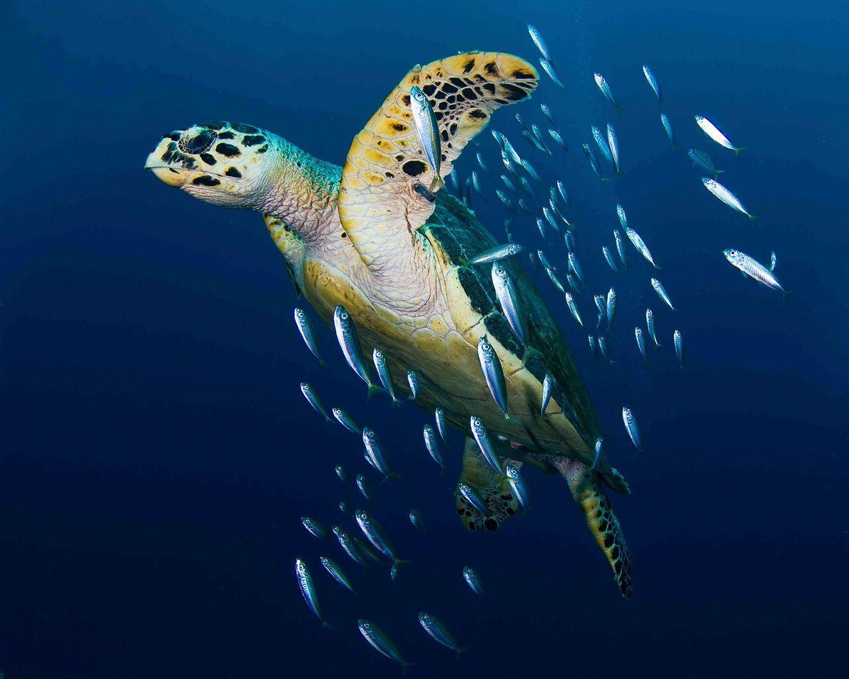Uma tartaruga-de-escamas nada rodeada de pequenos peixes.