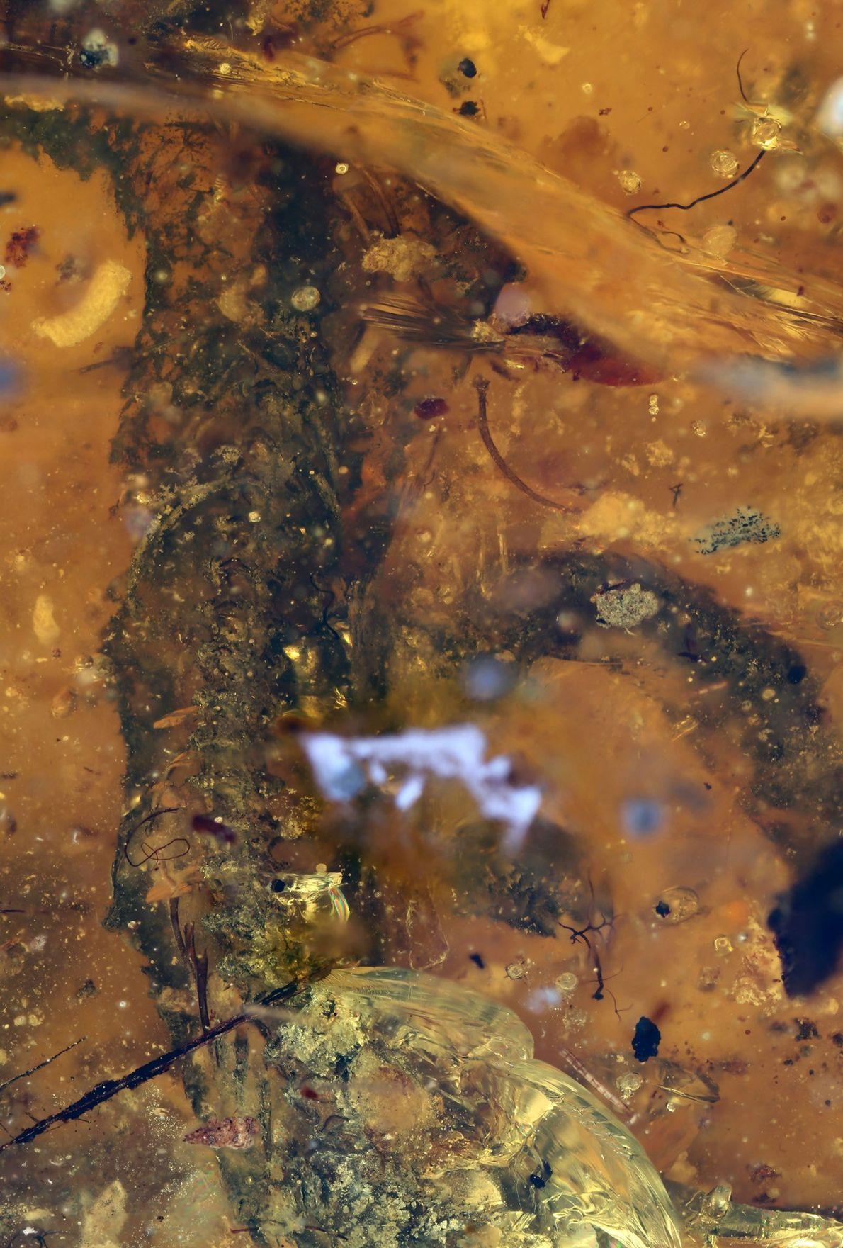 Imagem aumentada da barriga da cria de serpente fossilizada.