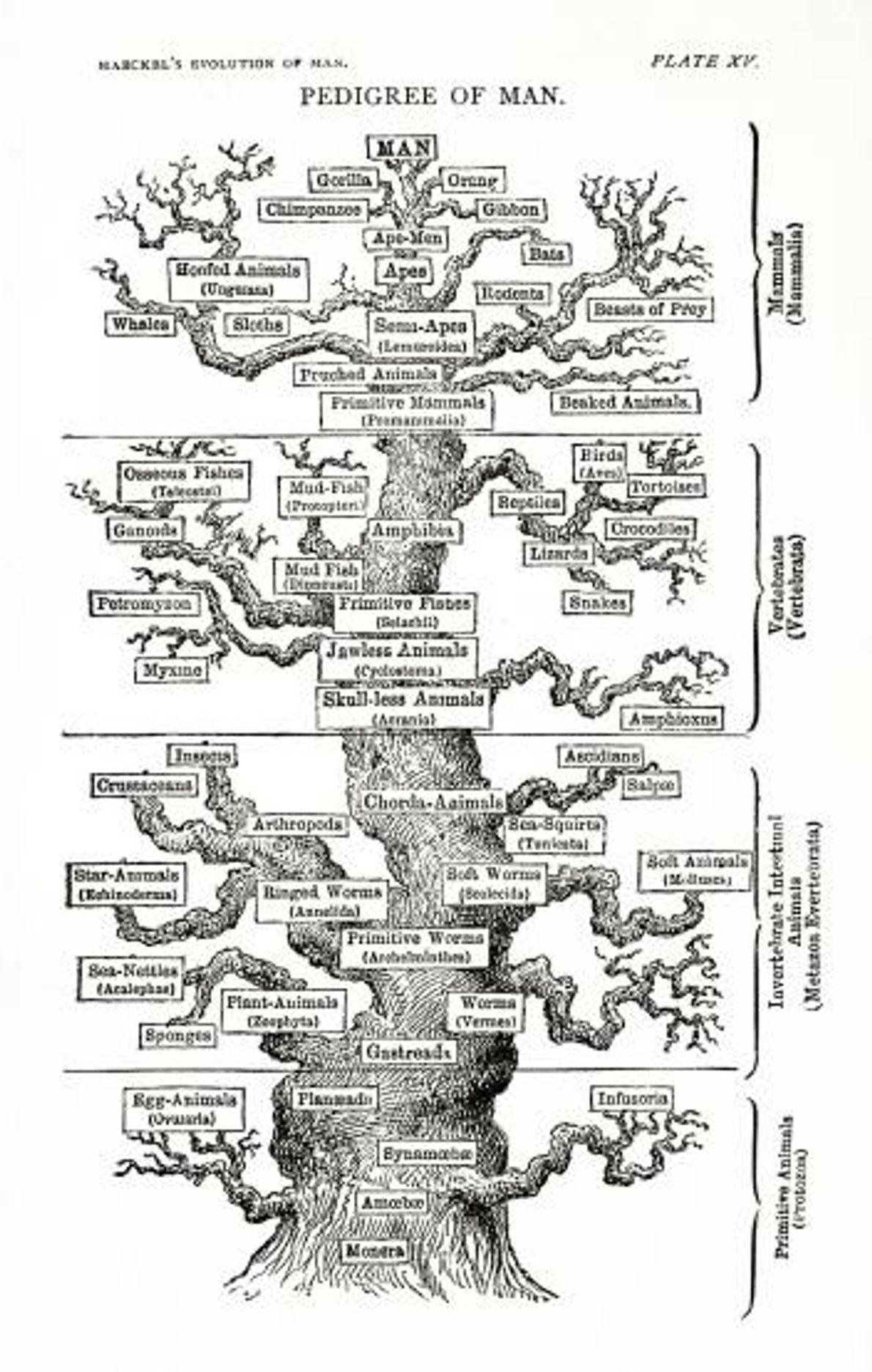 A árvore da vida da Evolução do Homem segundo o biólogo evolucionista alemão Ernst Heinrich Philipp ...