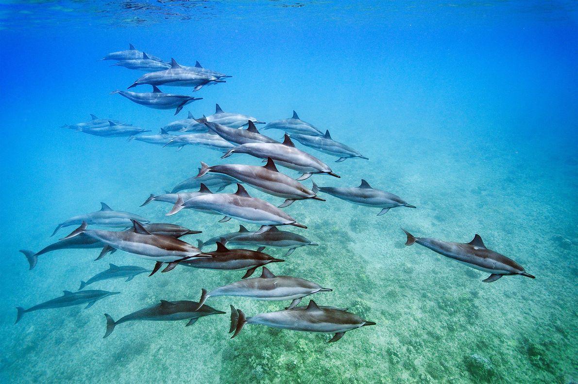 Os golfinhos-rotadores, Stenella longirostris, avistados ao largo de Oahu, no Havai.