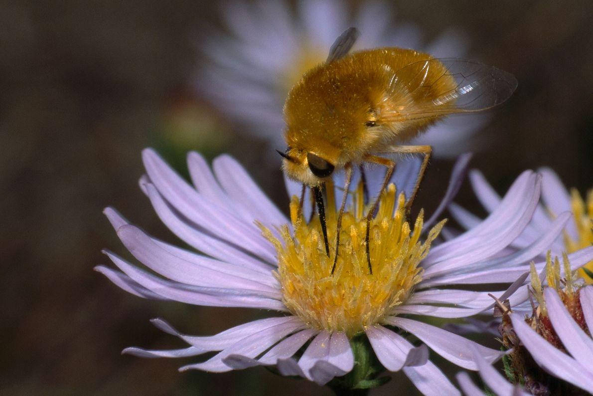 As moscas-abelha, como esta no norte da Califórnia, fazem-se passar por abelhas para colocar os seus ...