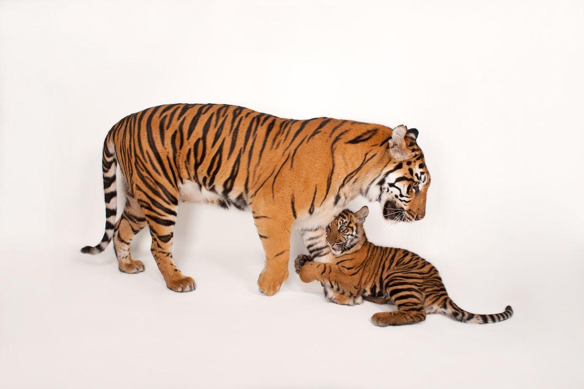 Ó MÃE Um raro tigre-de-sumatra fêmea (Panthera tigris sumatrae) mantém as suas crias por perto.