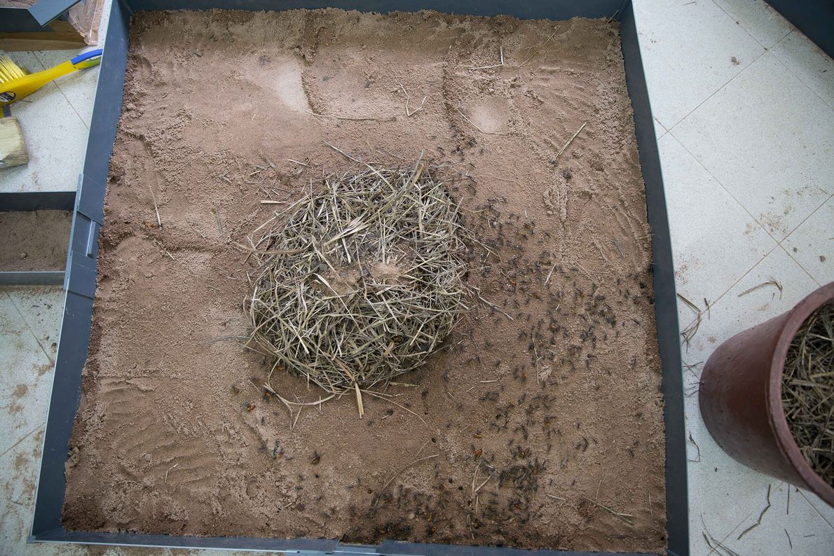 Ataque das formigas às térmitas