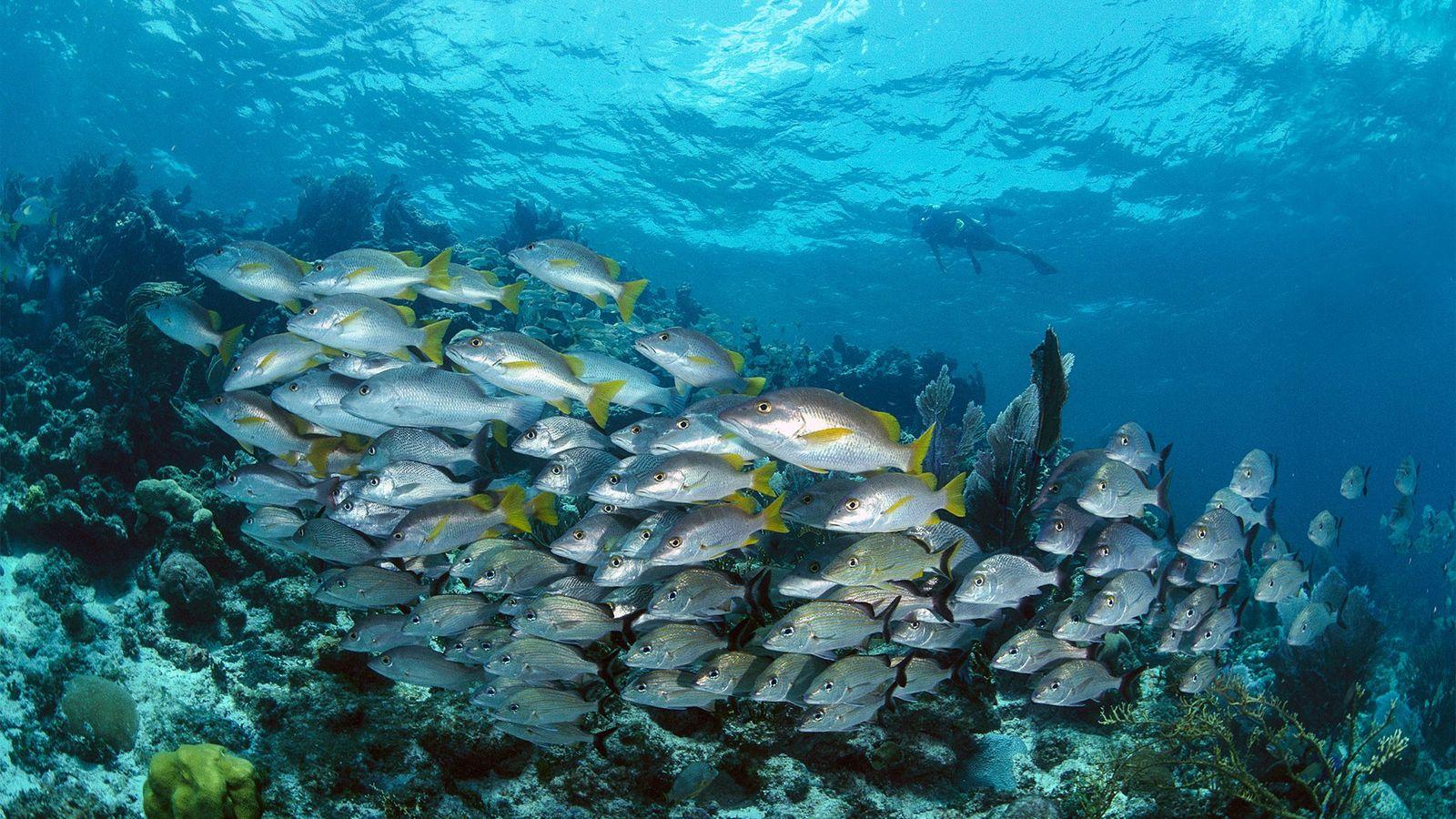 Mergulhador observa lucianos-amarelos e roncadores-de-cauda-negra, em Belize