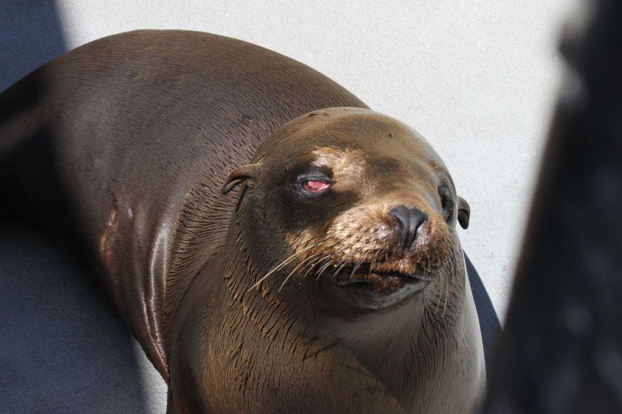 Esta fotografia de Cruz, um jovem macho de leão-marinho, foi tirada pouco tempo depois de ter ...