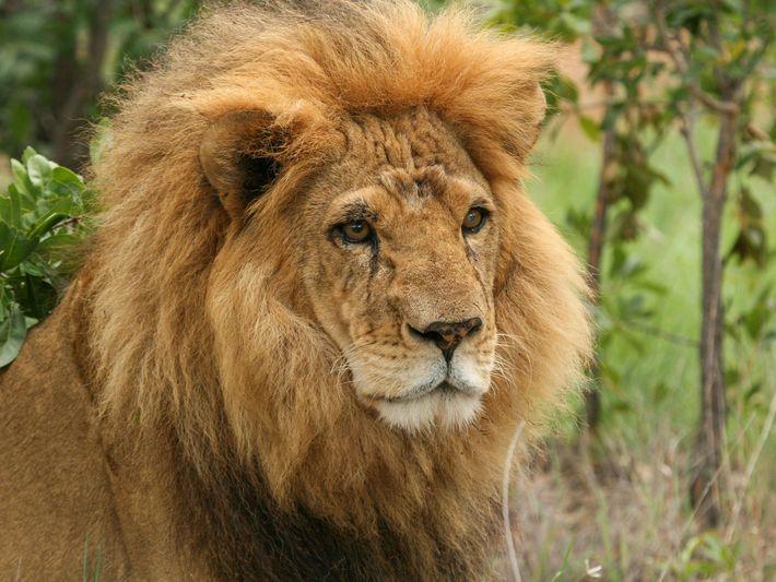 leões resgatados