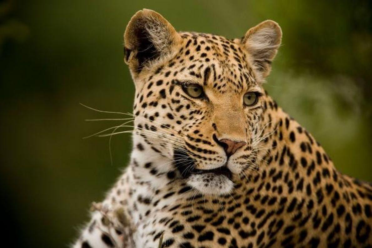 Retrato de um leopardo.