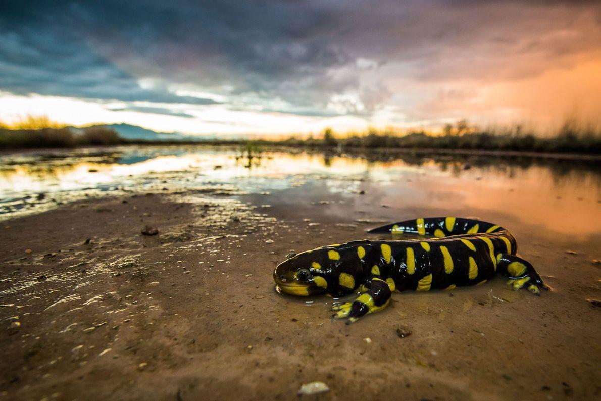 Salamandra-tigre. Willcox, Arizona, Estados Unidos da América
