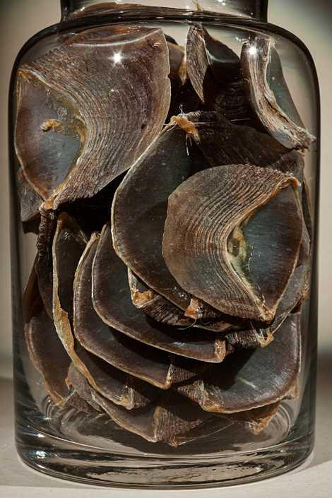 A demanda pelas escamas de pangolim, usadas na medicina tradicional chinesa, fez com que o pangolim ...