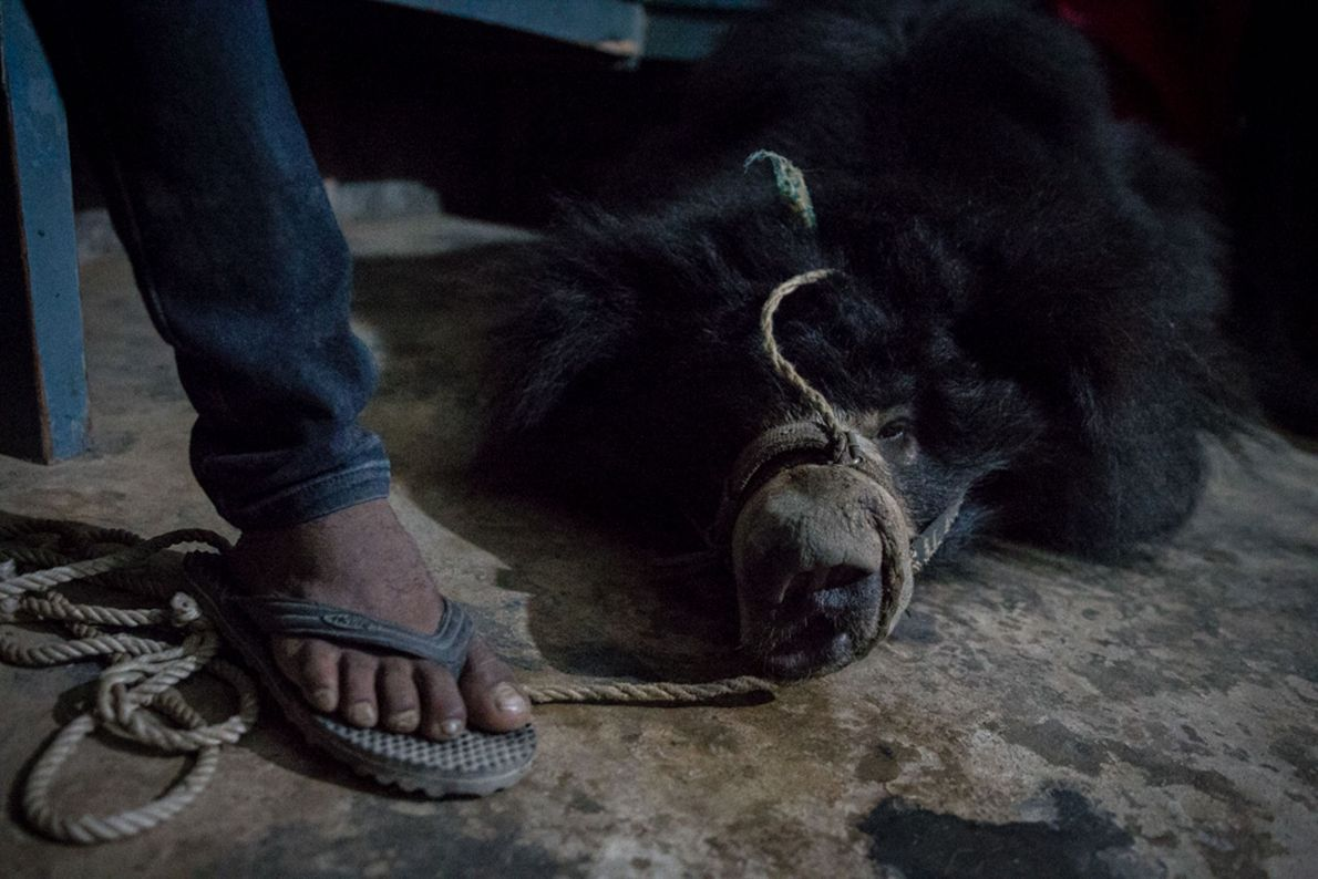 O fim dos ursos dançarinos no Nepal