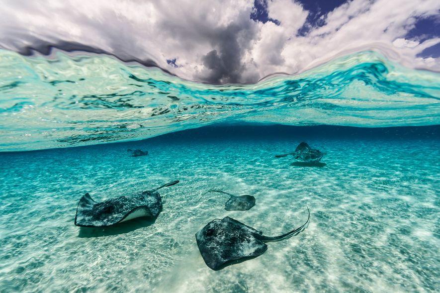 Nas Ilhas Grande Caimão, as raias nadam ligeiramente acima do leito do mar.