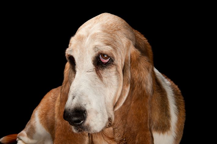 Um basset hound.