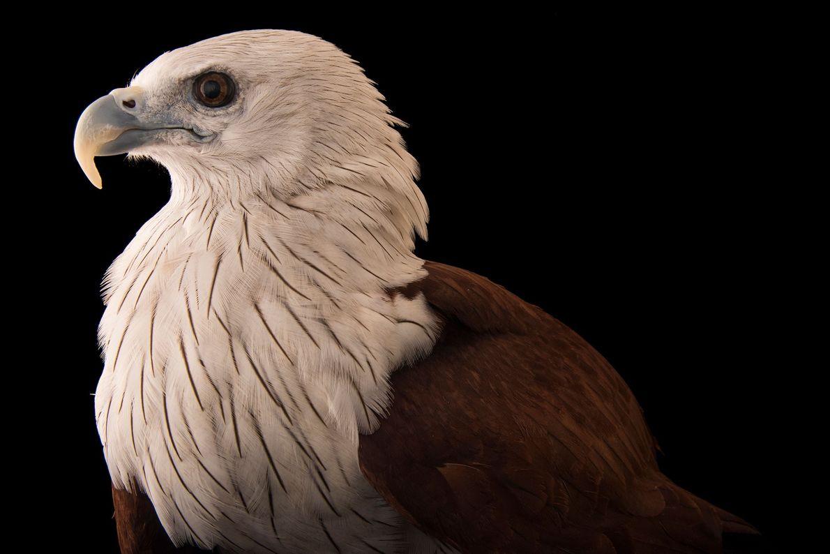 Espécies de águias - um milhafre-brâmane