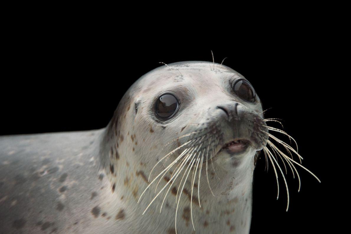 Phoca largha, ou selo manchado, no Alaska SeaLife Center.