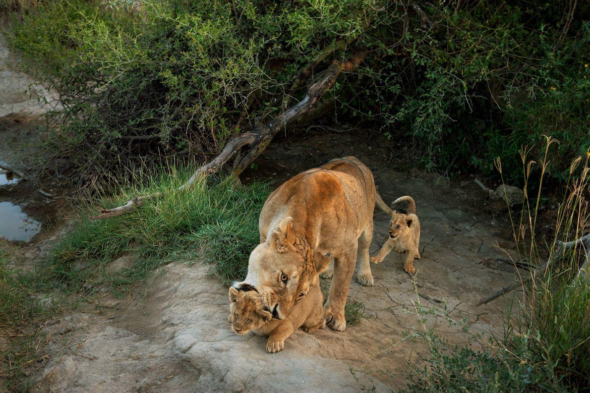 Uma leoa do grupo Barafu, no Parque Nacional do Serengeti, carrega as suas crias.