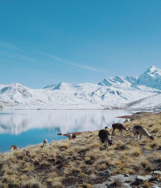 Lamas selvagens pastam nas imediações de El Alto, na Bolívia.