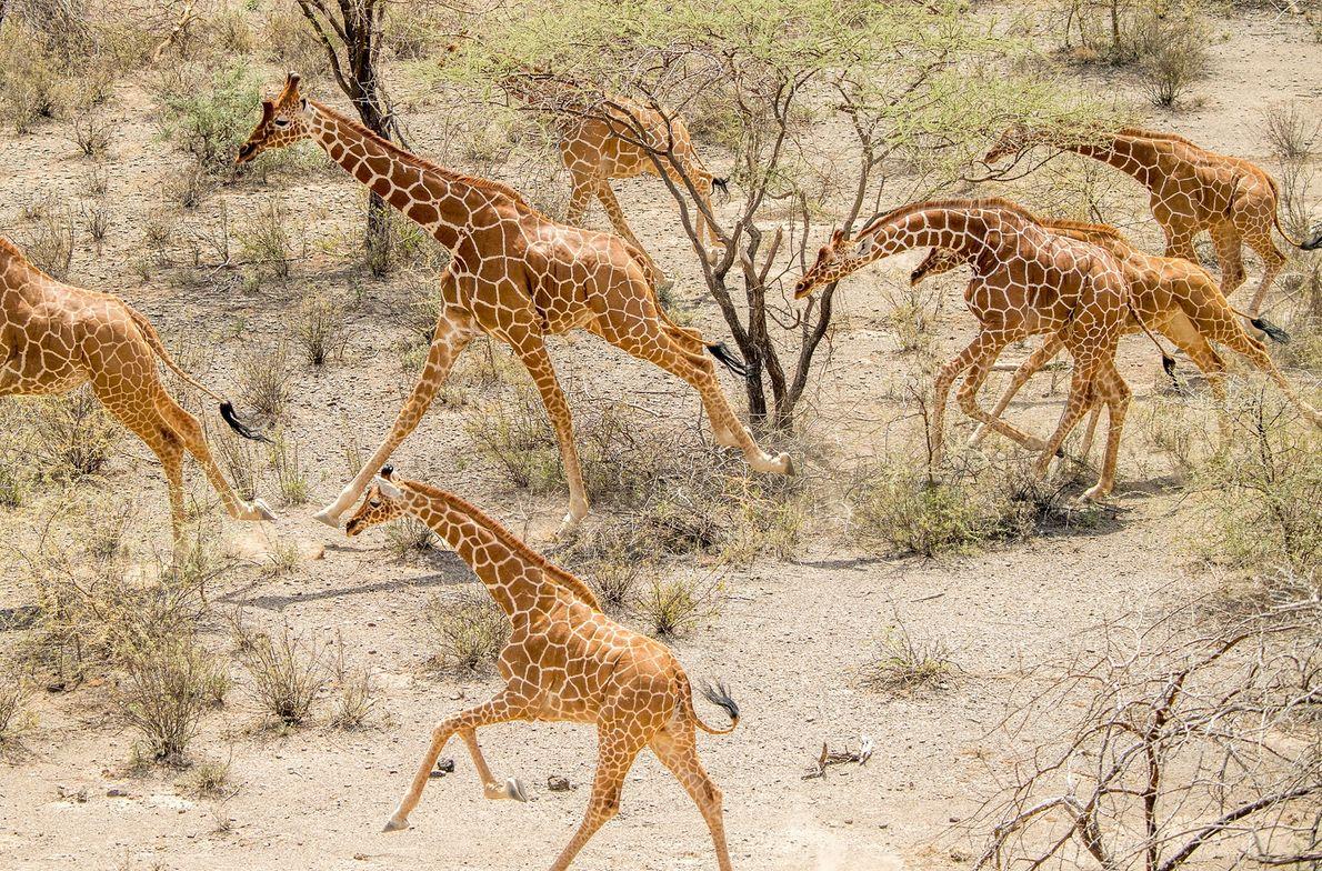 Um grupo de girafas reticuladas corre no Parque de Conservação de Leparua.