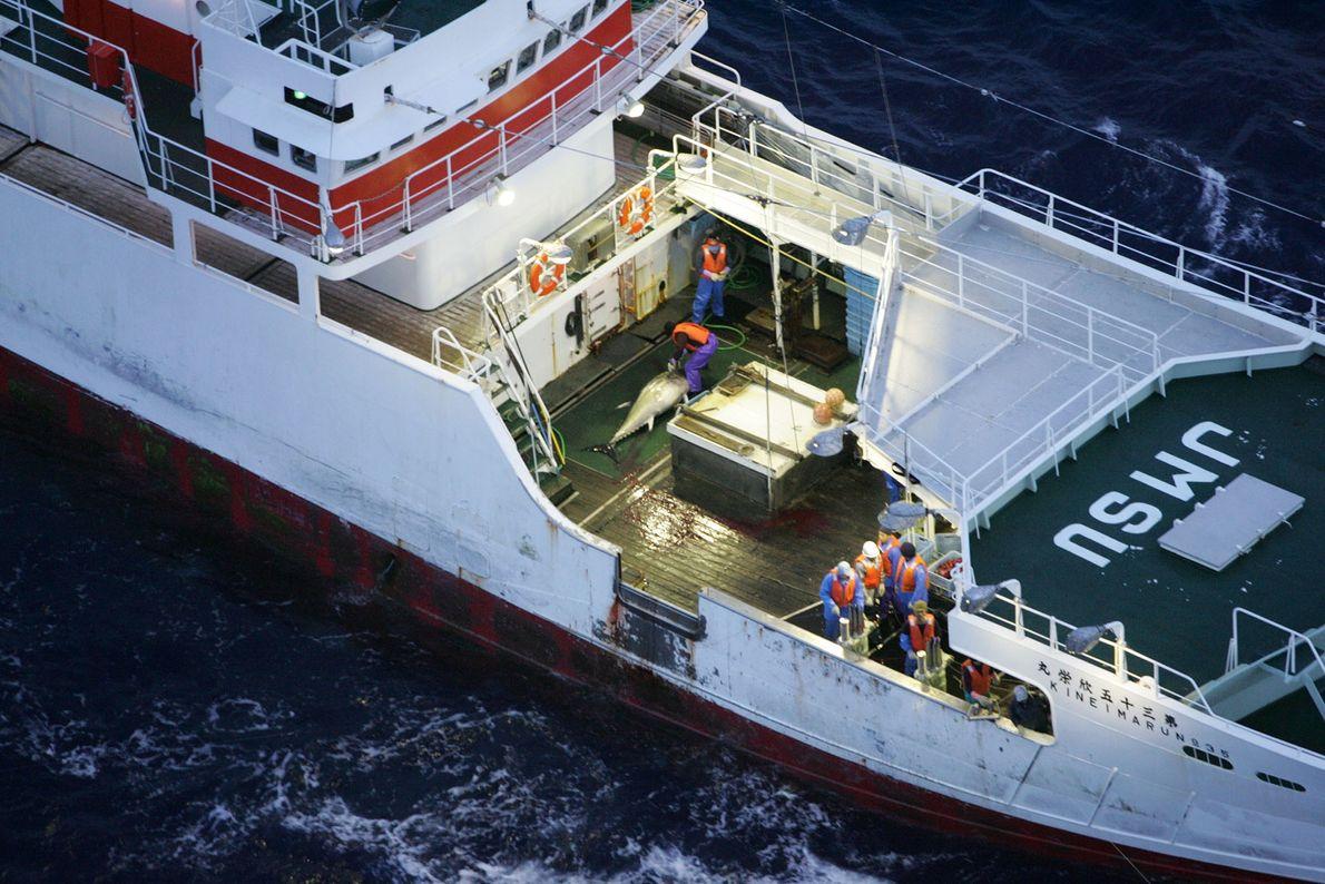 Uma operação da Greenpeace parte para salvar atuns-rabilho.