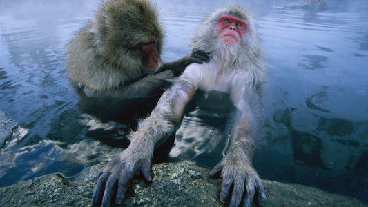 A Meditação Coletiva de Macacos-Japoneses em Fontes Termais