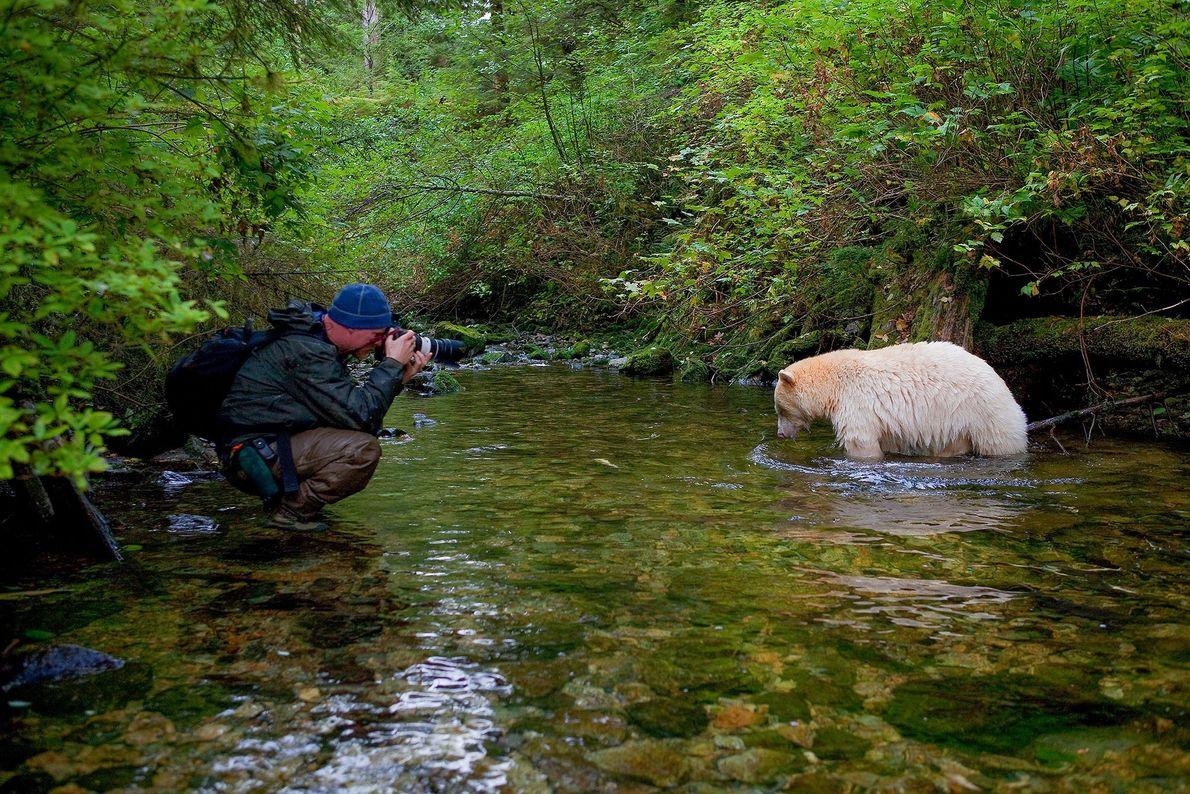 Paul Nicklen fotografa um urso de Kermode, também conhecido por urso espiritual, sob a direção de ...
