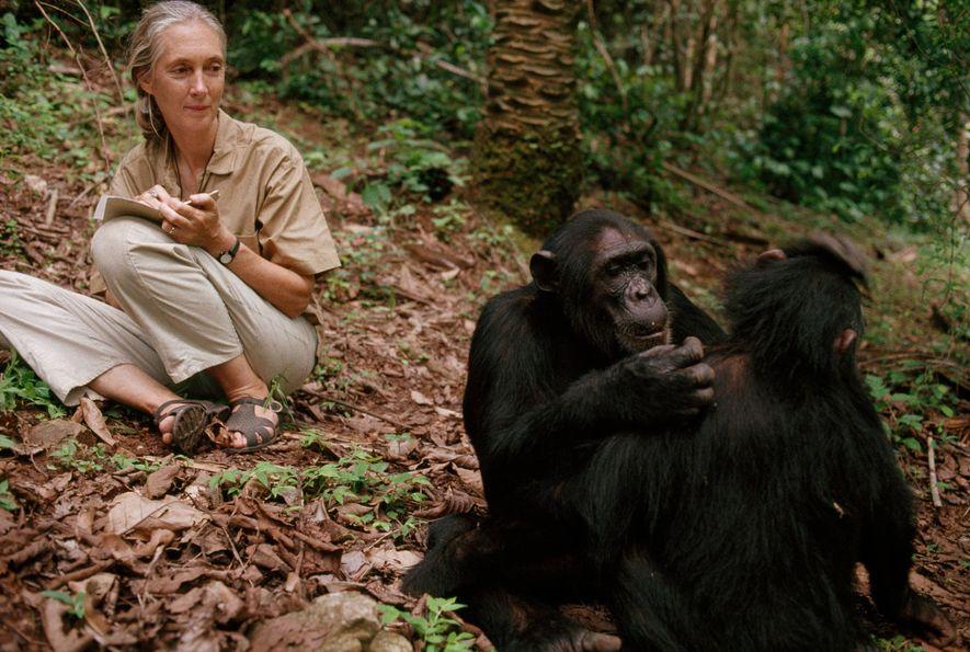Chimpanzés no Parque Nacional Gombe, Tanzânia, 1990.