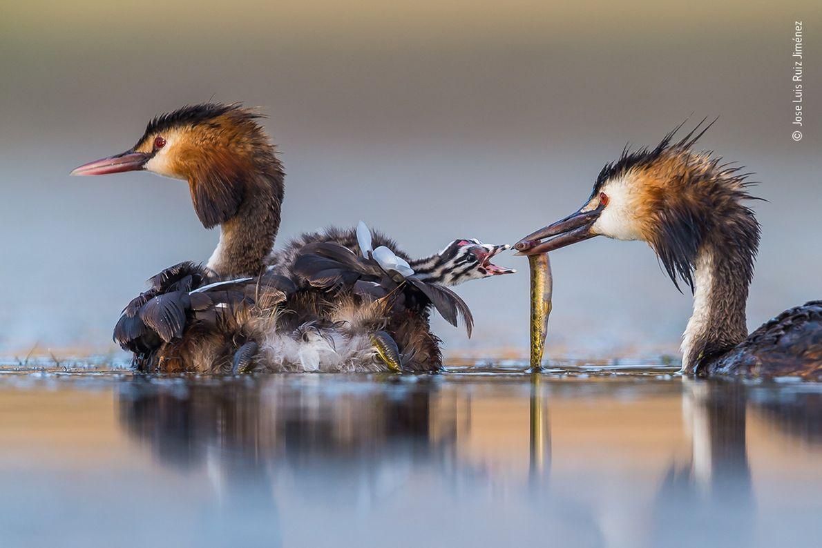 Jose Luis Ruiz Jiménez captou esta imagem de uma família de mergulhões-de-crista, numa lagoa na região ...
