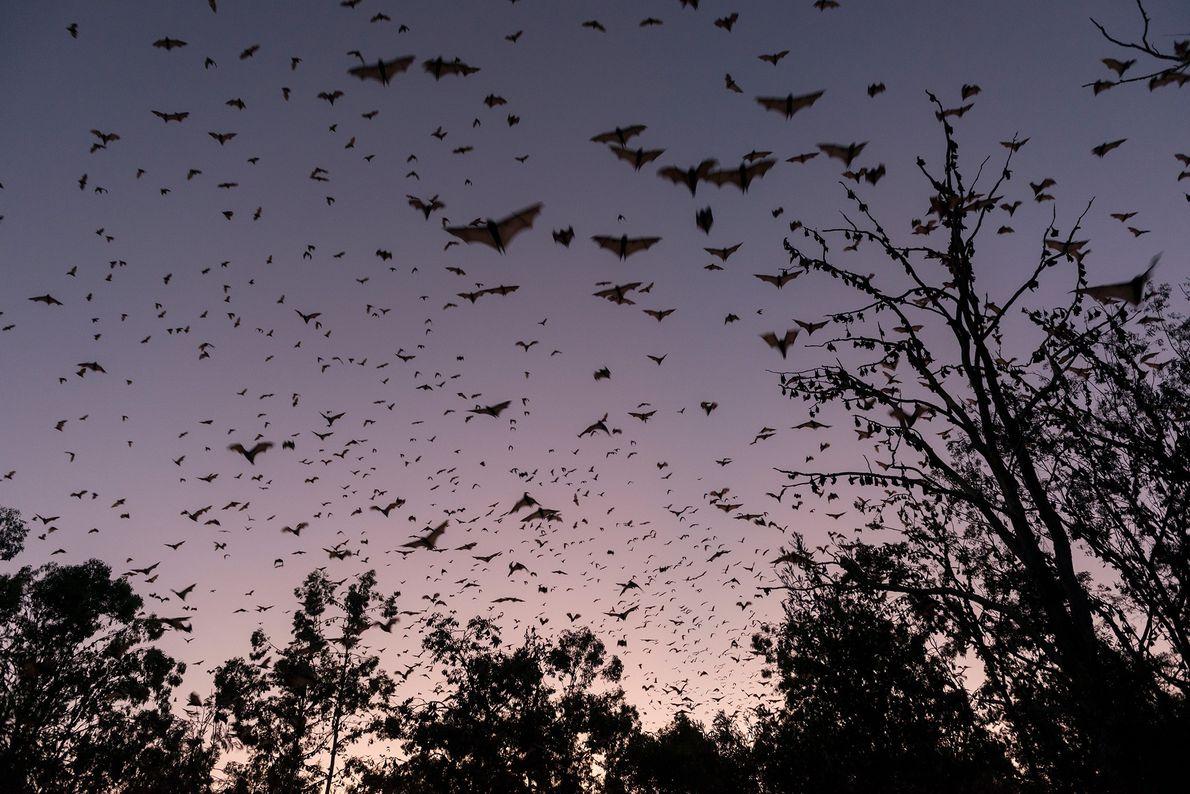 Raposas-voadoras vermelhas no crepúsculo das terras altas australianas. Também conhecidos por morcegos-da-fruta, estes animais comem néctar ...