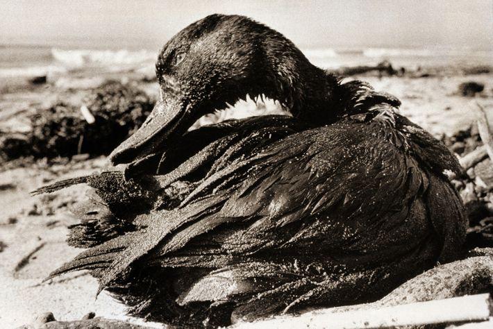 As fotografias de aves cobertas de petróleo do derrame de Santa Bárbara em 1969 – incluindo ...