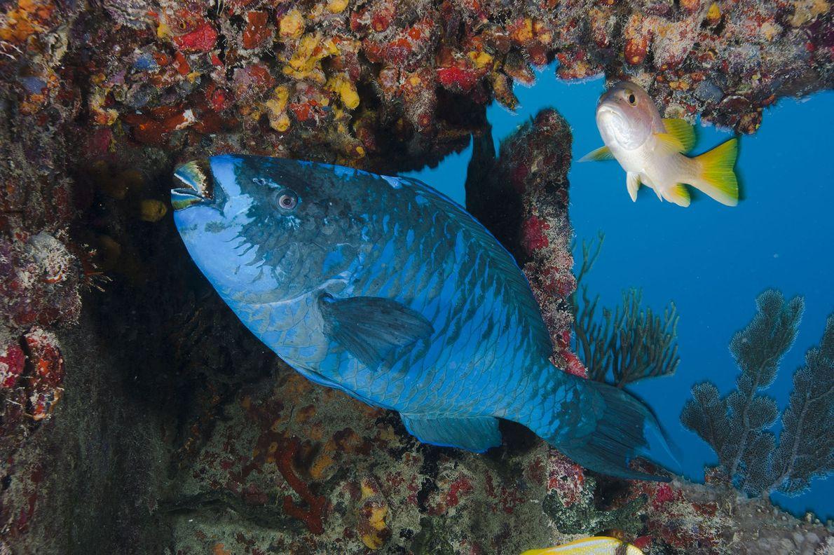 Os peixes-papagaio.