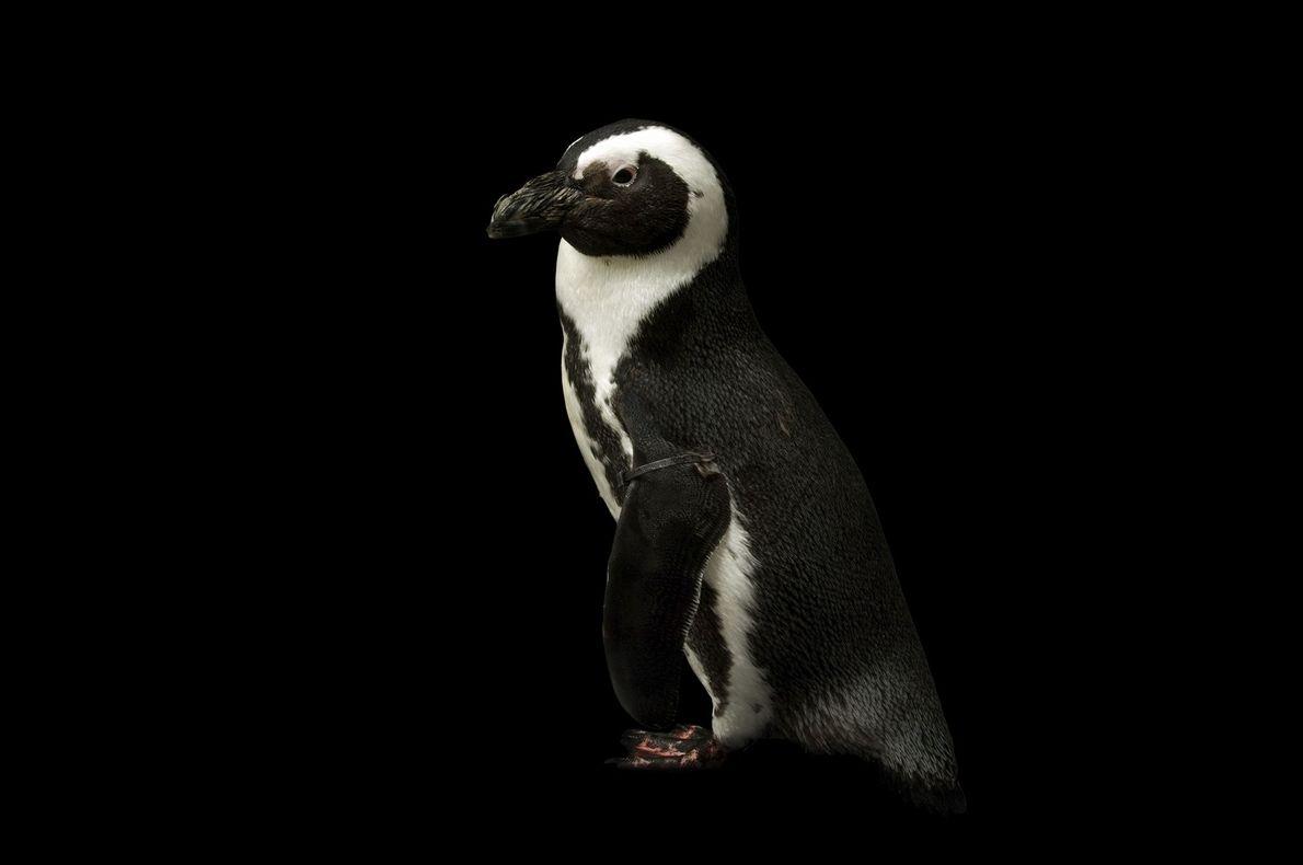 Pinguim-africano (Spheniscus demersus)